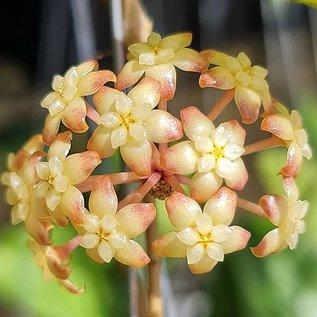 Hoya finlaysonii  UT 073