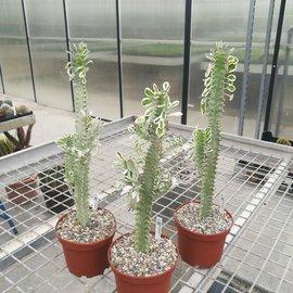 Euphorbia trigona cv. variegata
