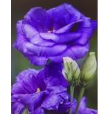 Diamond Painting paarse rozen