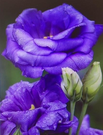 Diamant mozaïek paarse rozen