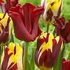 Tulip mixture Cherry Custard