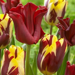 Tulip mixture Cherry Custard