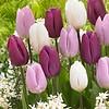 Tulip mixture Purple Rain