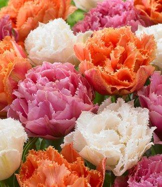 Tulipes melange Candy Frills
