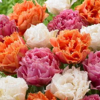 Tulipa Candy Frills
