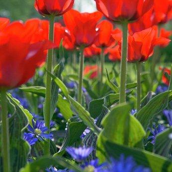 Tulipa Roodkapje