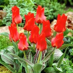 Tulpe Rotkäppchen