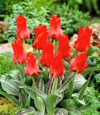 Tulp Roodkapje