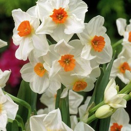 Narcis Geranium