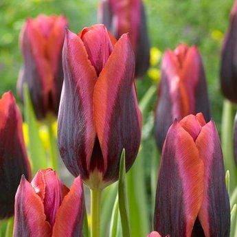 Tulipa Slawa