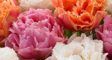 Новые тюльпаны
