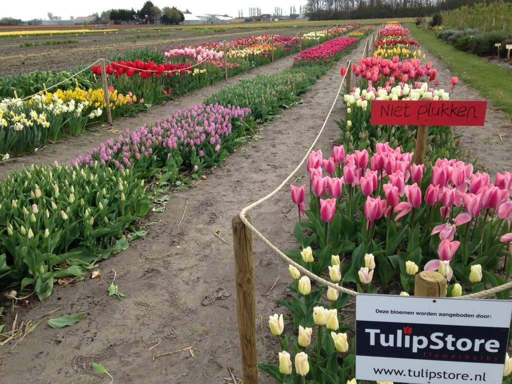 Tulip Store Show Garden blooms!