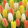 Tulip mixture Everlasting Love