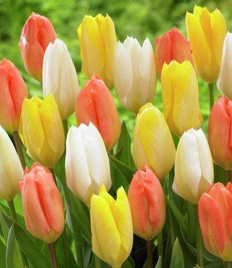 Tulipes melange Everlasting Love