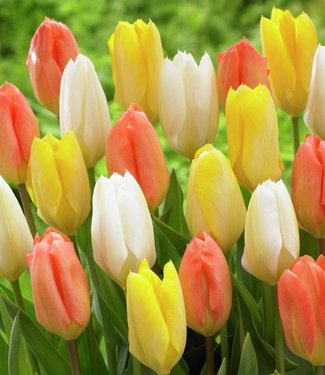 Tulpen Mischung Everlasting Love