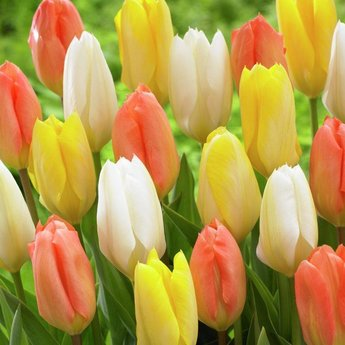 Tulipa Everlasting Love