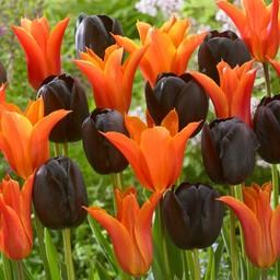 Tulpen Mischung Tangerine Chocolate Delight