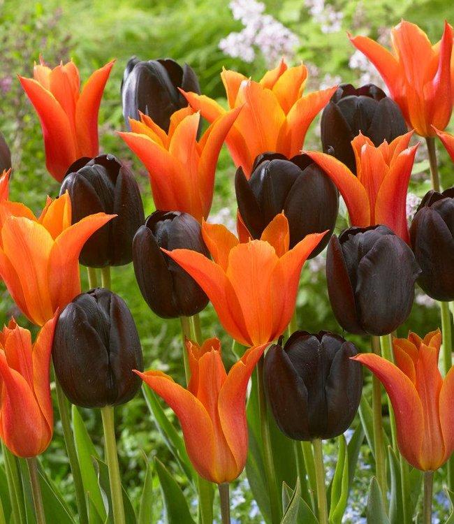Mélange de tulipes Tangerine Chocolate Delight