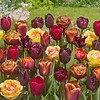 Tulip mixture Bonfire Toffee