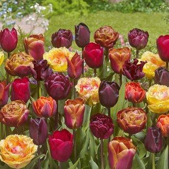 Tulipa Bonfire Toffee