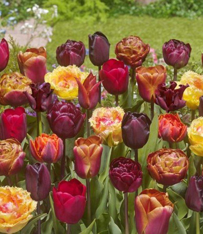 Mélange de tulipes Bonfire Toffee