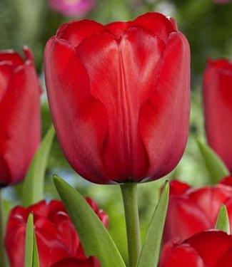 Tulpe Red Impression
