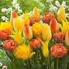 Tulip mixture Tequila Sunrise