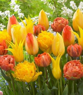 Mélange de tulipes Tequila Sunrise