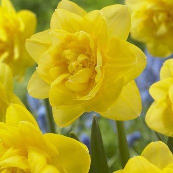 Narcissus Sherborne