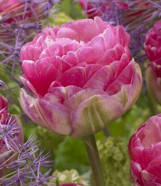 Tulipe Pink Star