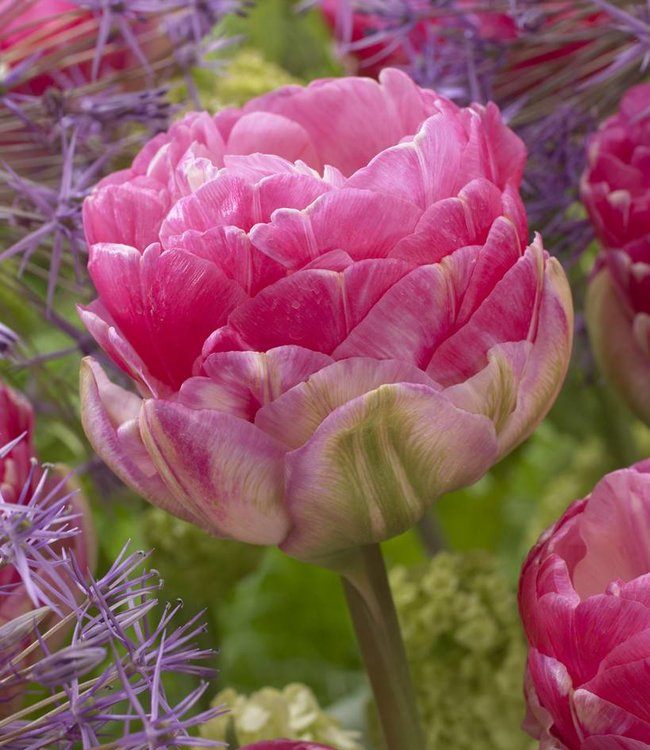Tulip Pink Size