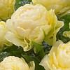 Тюльпан Bowl of Beauty