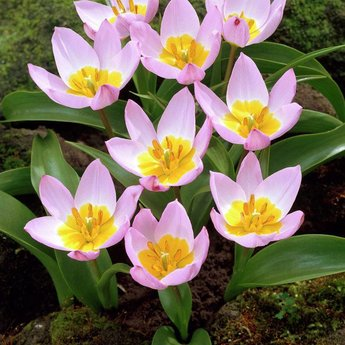 Tulipa bakeri Lilac Wonder