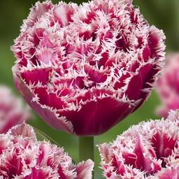 Tulpe Brest