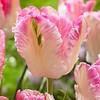 Tulip Cabanna
