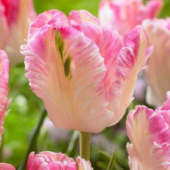 Tulipa Cabanna