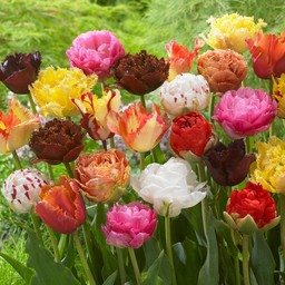 Tulpenmix Exclusive Tulips
