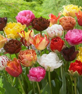 Tulipes melange Exclusive Tulips