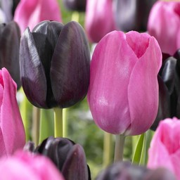 Tulip mixture Liquorice Candy