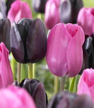 Tulipes de melange Liquorice Candy