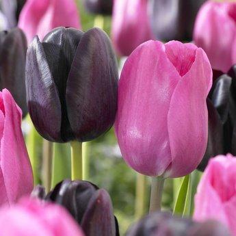 Tulipa Liquorice Candy