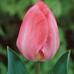 Tulp van Eijk
