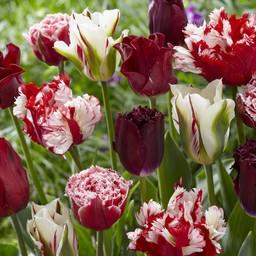 Микс тюльпанов Rubies and Pearls