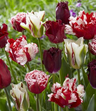 Tulip mixture Rubies and Pearls