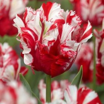 Tulipa Rubies and Pearls