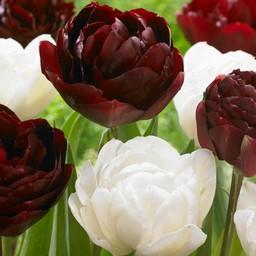 Tulpen Mischung Cherry Humbug