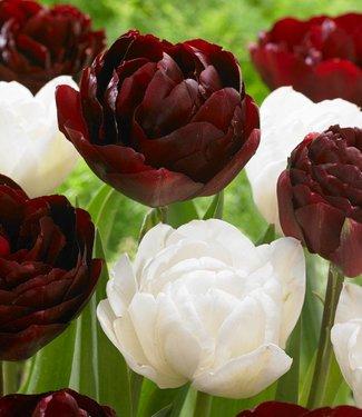 Tulip mixture Cherry Humbug