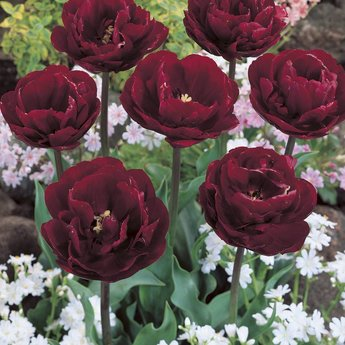 Tulipa Cherry Humbug