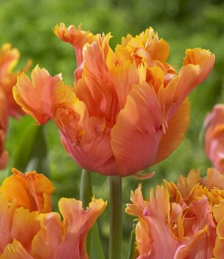 Tulipe Amazing Parrot