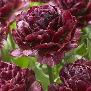 Tulipa Nachtwacht